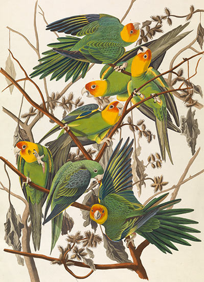 Carolina Parrot, from The Birds of America, c. 1828