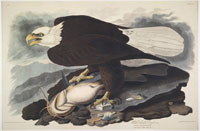 White-Headed Eagle with Yellow Catfish